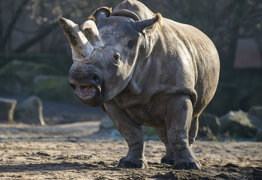 The World Has Lost Its Last Male Northern White Rhino
