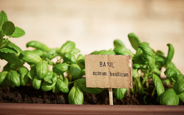 Above: Learn how to grow an urban herb garden (Photo: Shutterstock/martiapunts)